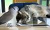 Как назойливый голубь кота не испугался