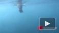 Акула съела тюленя перед объективом камеры туристов
