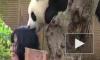 Забавное видео из Китая: детеныш панды легонько укусил посетительницу зоопарка