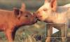 «Зенит» мобилизует свиней обнюхивать интимные места фанаток