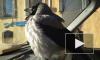 В Петербурге из машины похитили домашнюю ворону Кару