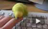 Кусачий попугай