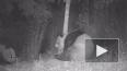 В Китае видеоловушка засняла любвеобильных панд