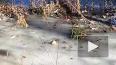 Аллигаторы вмерзли в лед в США