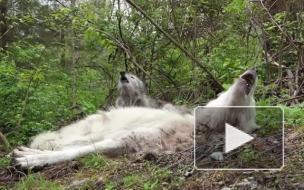 Самые ленивые волки из США завоевали любовь пользователей интернета