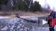 Швеция: Чудесное спасения лося из ледового плена сняли н...