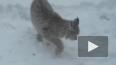 Видео из Удмуртии: рысь обедала во дворе жилого дома