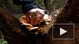 Поедание грибов снижает вероятность рака простаты