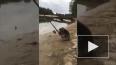 Забавное видео из Австралии: Коала ловит рыбу на удочку