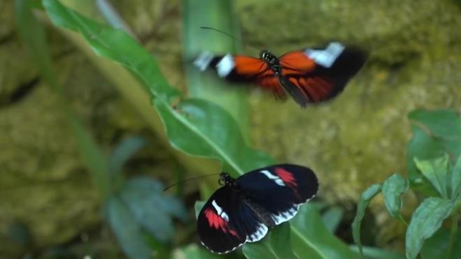 В Якутии обнаружили новый подвид редчайшей арктической бабочки