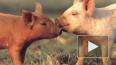 «Зенит» мобилизует свиней обнюхивать интимные места ...