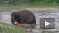 Храбрый слоненок бросился спасать из бурной реки человек...