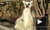 В Ленинградском зоопарке показали фотографии с загорающими лемурами
