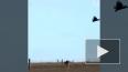 Видео: Кенгуру отделал хищную птицу, которая его атакова...
