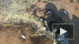 На берег Финского залива выбросило дохлую рыбу: видео