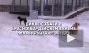 Петербуржцы пожаловались на свору диких собак на Ручьёвской дороге