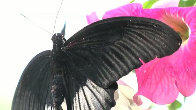 Прилетели отсидеться. Бабочки радуют посетителей в оранжерее на Потемкинской