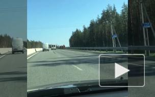 Петербургские водители: на Приозерском шоссе разгуливает табун лошадей