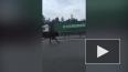 Петербуржцы сняли на видео быка, бегущего по КАД