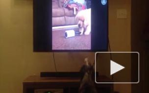 Собака, которая любит смотреть телевизор, покорила соцсети