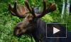 Двое пострадали от встречи с лосем в Ленобласти