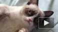 В возрасте 7 лет умерла знаменитая сердитая кошка ...