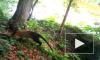 В Приморье фотоловушка сняла яркого тропического зверя - уссурийскую куницу