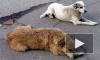 ЗакС призвал Полтавченко разобраться с массовыми отравлениями собак