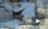 В Приморье при транспортировке погибли 12 морских котиков