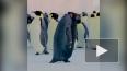 На видео попала единственная особь черного пингвина
