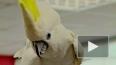 Россия – Бельгия: попугай-пророк предсказал исход матча