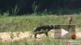 Появилось видео, как Буйвол спасает ящерицу от льва