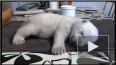 Крошечный белый медвежонок Сику из Дании покорил интерне...