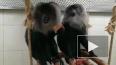 В Ленинградском зоопарке поженили львинохвостых макак