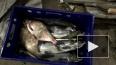 Сотрудник Росрыболовства поймал атлантического лосося ...