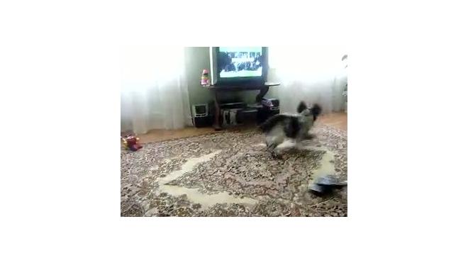 Пес и пылесос