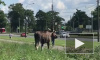 Видео: на Луначарского заметили гуляющего лосенка