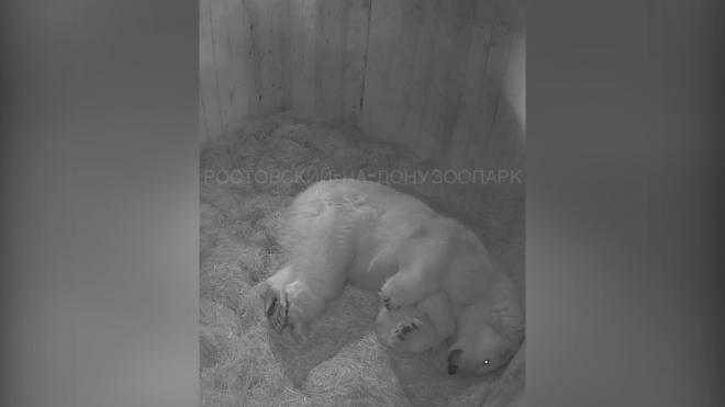 Появилось трогательное видео с новорожденным белым медвежонком в Ростовском зоопарке