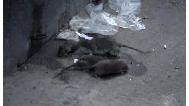 Крысиные полчища на Петроградке