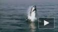 В Приморье поймали еще одну акулу-убийцу