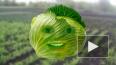 Говорящие овощи про воров, прыгунов, лазунов и электруно...