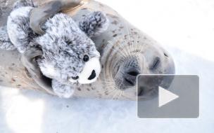 Тюлень - милаха из Японского зоопарка стал мировой знаменитостью
