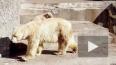 Белый медвежонок в Ленинградском зоопарке растрогал ...