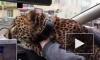 Видео из Екатеринбурга: В такси по городу катался леопард