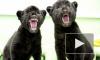 В петербургском зоопарке котята ягуара получили индейские имена