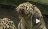 Запашный про тигриц: Жанна неуравновешенная, Анита красивая девка