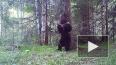 """Уральский медведь """"станцевал"""" у дерева и попал в видеоло..."""