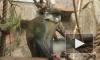 В честь дня рождения в Ленинградском зоопарке торжественно чавкали экзотические животные