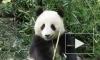 Ушла из жизни «олимпийская» панда из Китая