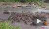 Появилось видео схватки крокодила со стадом бегемотов в Южной Африке